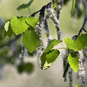 Плинтусы из осины